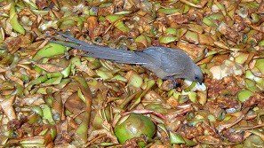 Bird eating in composting heap.