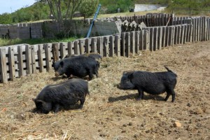 Our organic pigs roaming their pen.